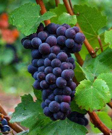 pinot: Pinot Noir Grapes Stock Photo