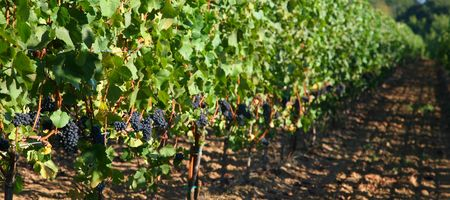 pinot noir: Pinot noir grapes hanging on the vine waiting for harvest