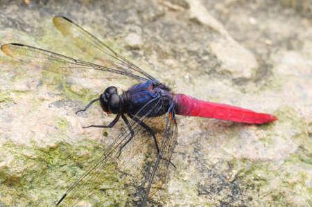 skimmer: Dragonfly Common Red Skimmer  Stock Photo
