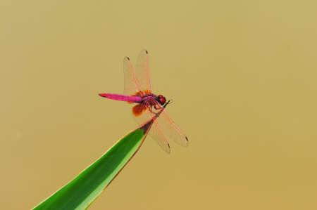 dropwing: Dragonfly Crimson Dropwing