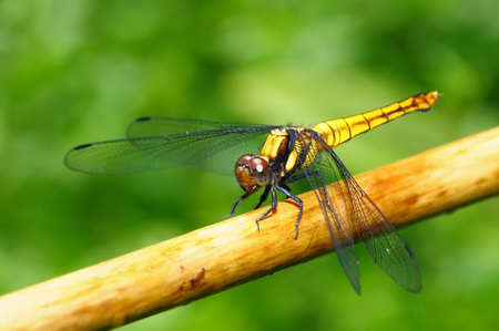 Golden Yellow Dragonfly sitting on branch  photo
