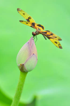 A dragonfly perchs on lotus  flower bud in the sun  photo