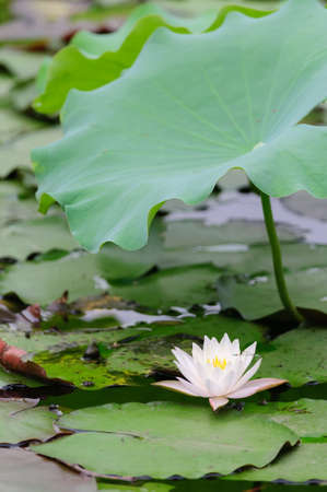 One white water lily under the lotus leaf in the pond A damselfly is resting on it  photo
