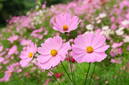 tickseed: Some pink coreopsises in the sun