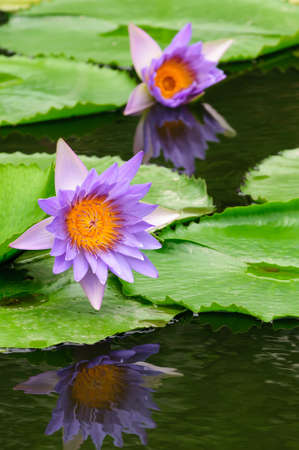 Two purple water lily in the pond They have a reflection  photo