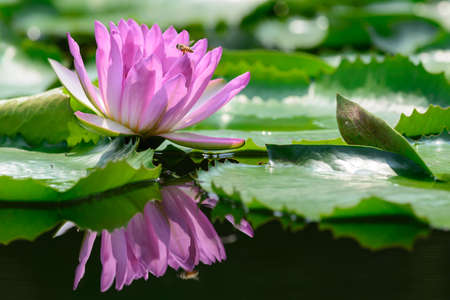 purple water lily in the pond It has a reflection  photo