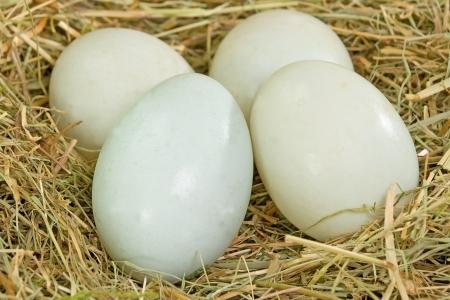 Four fresh free range duck eggs in a nest of hay Standard-Bild