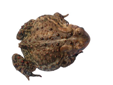 a common toad isolated on white with a clipping path - top view Stock Photo