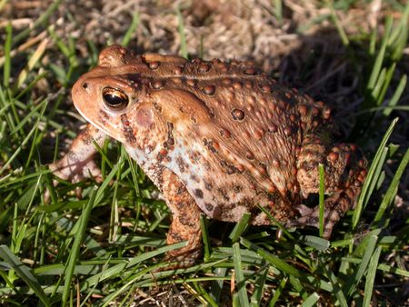 a common toad in the grass, 2 in a series of 3 images