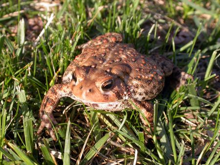 a common toad in the grass, 1 in a series of 3 images Stock Photo