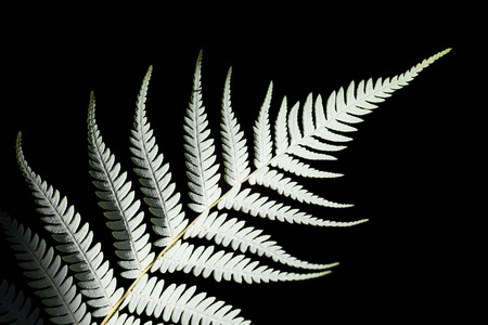 silver fern: New Zealand silver fern Cyathea dealbata