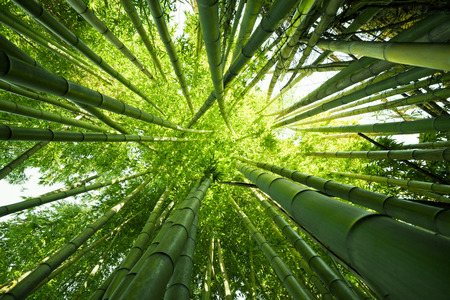 Looking up at exotic lush green bamboo tree canopy Stockfoto
