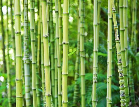 lush: Exotic lush green bamboo background