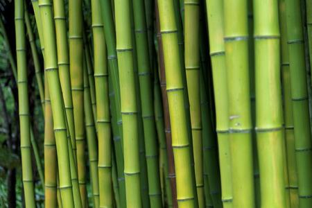 Exotic lush green bamboo background