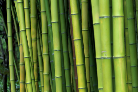 Exotic lush green bamboo background