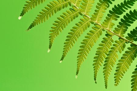 silver fern: Fresh green New Zealand fern backgrounds