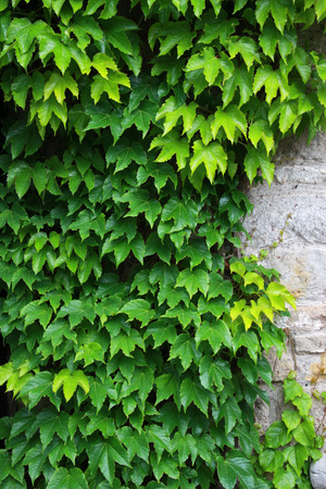 ivy wall: Fresh green wall of ivy leaves nature background