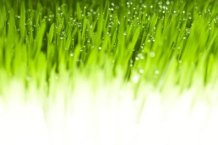 lush: Lush, fresh green grass background with moisture drops