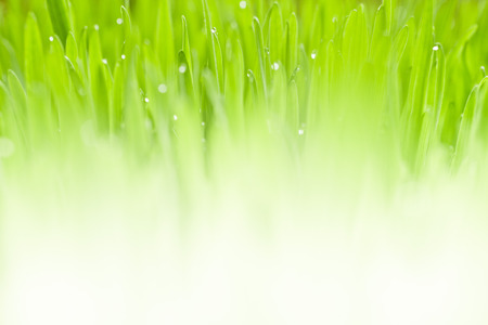 Lush, fresh green grass background with moisture drops
