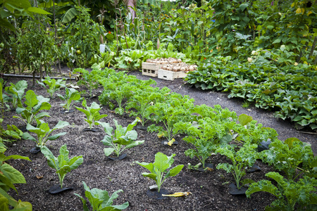 Well organised home vegetable garden with plants arranged in rows