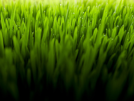 Lush, fresh green wheatgrass background with moisture drops Stock Photo