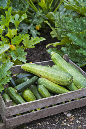 Freshly picked home grown zucchini or courgette