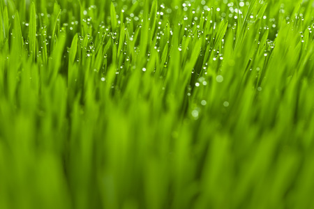 lush: Lush, fresh green grass background with moisture drops