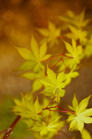 coral bark: Nature background with bright autumn leaves on a coral bark Japanese maple