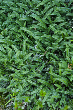groundcover: Fresh green New Zealand ground coverfern