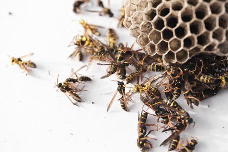白い背景に巣の周りに死んだスズメバチ 写真素材