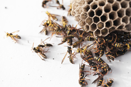 Paper wasps dead around their nest on a white background