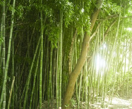 Lush, exotic, fresh, green bamboo jungle background Reklamní fotografie