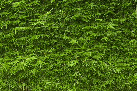 screen wall of lush green bamboo background