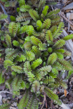 Fresh green Brass Buttons groundcover (Leptinella squalida) Stock Photo