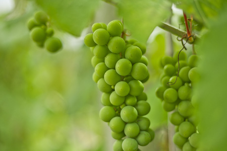 Fresh grapevine with green grapes in a vineyard