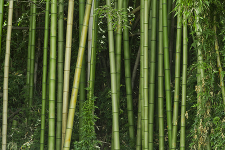 Lush, exotic, fresh, green bamboo jungle background Reklamní fotografie - 80392253