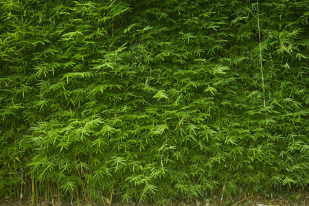 screen wall of lush green bamboo background