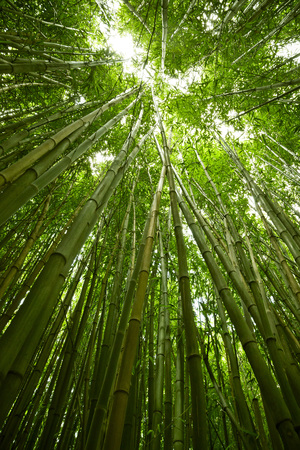 Lush, exotic, fresh, green bamboo jungle background Stock Photo