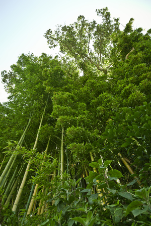Lush, exotic, fresh, green bamboo jungle background Reklamní fotografie