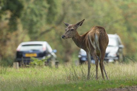 Red deer grazing beside a busy road
