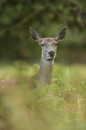 red deer: red deer calf in bracken