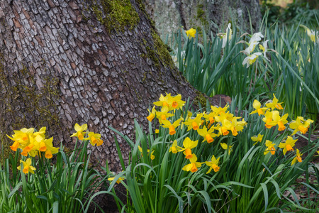 Several varities of daffodils cluster around the base of a tree in a woodland setting