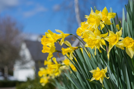 Sunny daffodils pop up against a bright blue sky, with a home burred in the background.