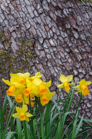 A cluster of happy daffodils at the base of a tree with space above for text or graphics.