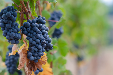 Clusters of Pinot Noir grapes hang on the vine in an Oregon vineyard to one side with soft blurred background.