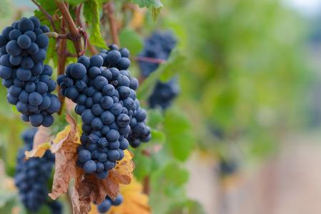 Clusters van Pinot Noir druiven hangen op de wijnstokken in een wijngaard Oregon aan de ene kant met zachte onscherpe achtergrond. Stockfoto