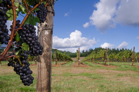 Clusters of ripe Pinot Noir grapes ready for harvest in the foreground, with a Wllamette Valley vineyard in soft focus background.