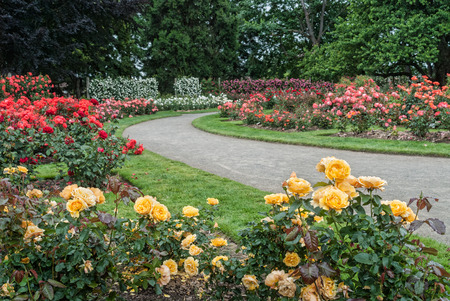 A walkway winds through the Owens Rose Garden in Eugene, Oregon Archivio Fotografico