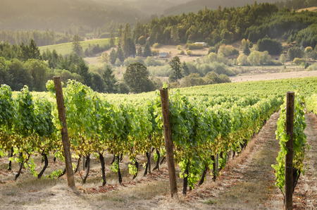 wine country: A vineyard in Oregons Willamette Valley wine country overlooks the coast range valley below with another vineyard in the distance. Stock Photo