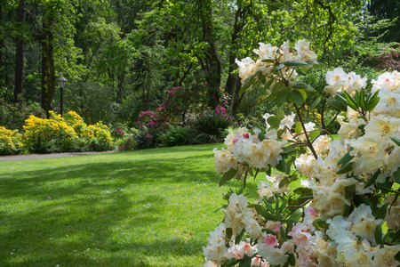 A shady park in the spring with a cluster of rhododendrons in the foreground. Standard-Bild
